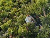 American Tree Sparrow II