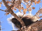 Porcupine on the Rio Grande bosque.