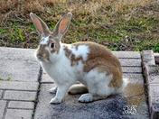 Butterscotch Bunny