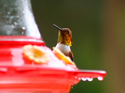A migrating rufous hummingbird