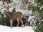 Wintering white tail deer