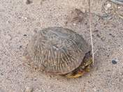 Going for a walk in the Bosque and came across this female box turtle! !!