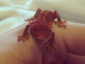 Little crested gecko
