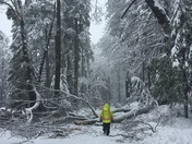 TREE DOWN IN THE SNOW