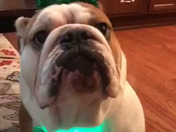 Our English bulldog Howard is feeling Irish in preparation for St. Patrick's Day!