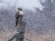 Red Tailed Hawk in a Snowsquall