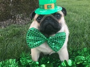 Pumpkin the St.Patrick's day pug!