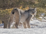 Canada Lynx, Riding Mountain National Park, Manitoba