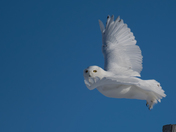 Snowy Owl male takes off