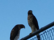 Hawks on the fence