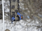 Daily feeding of bluebirds.