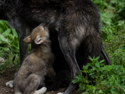 Wolf Pup Feeding