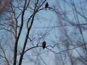Adult and immature eagle