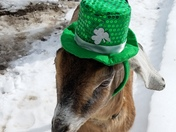 Goating around on st party's day