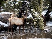 Elk in stream