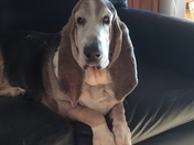 This is Bentley the Basset hound.