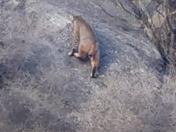 Bobcat climbing