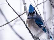 Blue Steel Jay