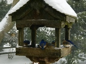 Bluebirds feeding!!