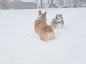 Corgis enjoying the snow