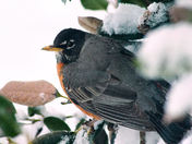 "SNOW photos, ""Robins"""
