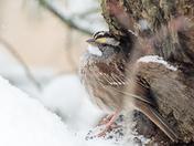 Bird weathering the snow