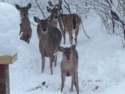 Deer waiting for corn cobs.