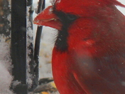 Cardinal enjoying some feed in the snow!
