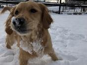 Golden Retriever Lovin' the Snow