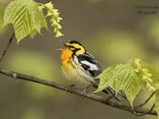 Blackburnian warbler Singing into the mic
