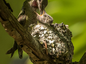 Anna's Hummingbird and Chick