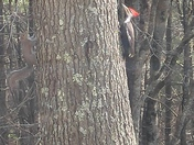 Red head wood pecker
