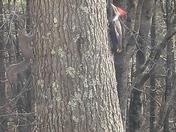 Red head wood pecker
