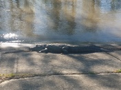 In River Ridge large Gator enjoying the Weather as well!!