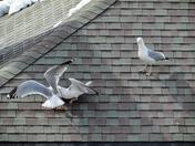 Seagull Brawl