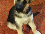 This is Rex he is 11 weeks old