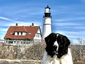 Penny, the Lighthouse Newfie!