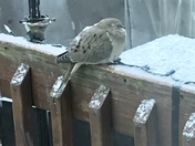 Morning Dove weathering the snow.