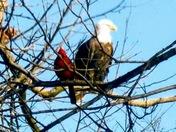 Cardinal and Eagle