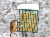 Carolina Wren this mornknf