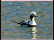 Long Tail Duck
