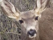 Doe face closeup