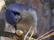 Bluejay breakfast:)