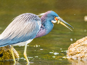 tricolor heron male with mating plumage