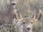 Two doe looking at me at the same time