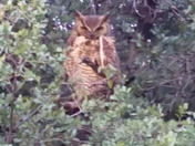 Grumpy looking great horned owl
