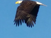 Cool angle of an eagle in flight
