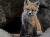 Fox Kit at Den