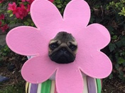 Pumpkin the Easter Pug