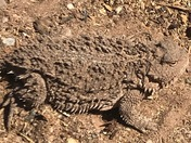 First horny toad of the year